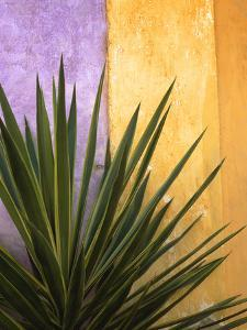 Mexico. Plant against colorful wall. by Jaynes Gallery