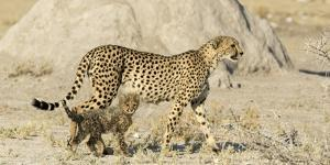 Namibia, Etosha National Park. Cheetah mother and cub. by Jaynes Gallery