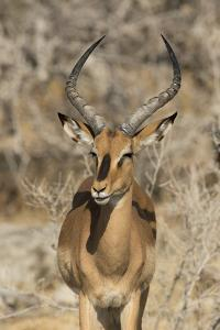 Namibia, Etosha National Park. Portrait of black-faced impala chewing its cud. by Jaynes Gallery