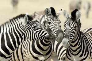 Namibia, Etosha, National Park. Three zebras nose to nose. by Jaynes Gallery