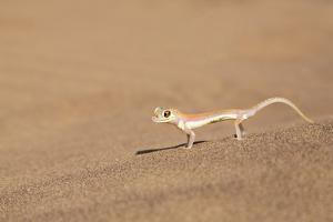 Namibia, Namib Desert. Palmetto gecko on sand. by Jaynes Gallery