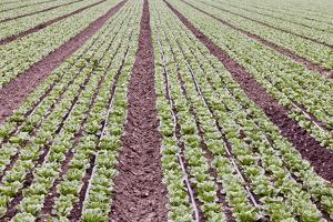 Neat Rows of Organic Lettuce on Farm, Soledad, California, USA by Jaynes Gallery