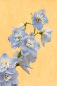 Netherlands, Venlo. Delphinium Parfait at the World Horticultural Expo by Jaynes Gallery