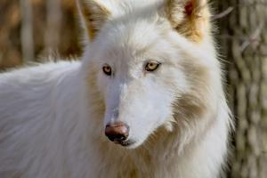 New Jersey, Columbia, Lakota Wolf Preserve. Close-Up of Arctic Wolf by Jaynes Gallery