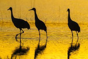 New Mexico, Bosque Del Apache National Wildlife Refuge. Sandhill Cranes at Sunset by Jaynes Gallery