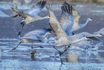 New Mexico, Bosque Del Apache National Wildlife Refuge. Sandhill Cranes Flying by Jaynes Gallery