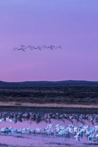 New Mexico, Bosque Del Apache National Wildlife Refuge. Snow Geese and Sandhill Cranes at Sunrise by Jaynes Gallery