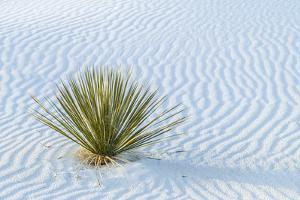 New Mexico, White Sands National Monument. Close-Up of Yucca and Sand Ripples by Jaynes Gallery