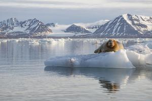 Norway, Svalbard. Bearded Seal Resting on Ice by Jaynes Gallery