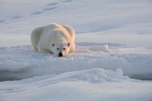 Norway, Svalbard, Spitsbergen. Polar Bear Rests on Sea Ice at Sunrise by Jaynes Gallery