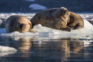Norway, Svalbard, Spitsbergen. Walrus on Ice by Jaynes Gallery