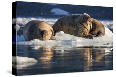 Norway, Svalbard, Spitsbergen. Walrus on Ice