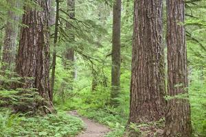 Olympic National Forest Trail Through the Forest Washington, USA by Jaynes Gallery