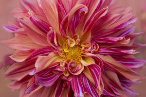 Oregon, Canby. Pink Dahlia Detail by Jaynes Gallery