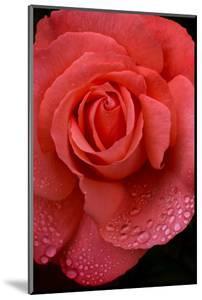 Oregon. Orange Rose with Rain Drops by Jaynes Gallery