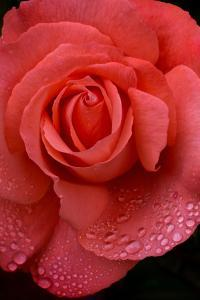 Oregon. Orange Rose with Rain Drops by Jaynes Gallery