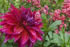 Oregon, Portland. Babylon Purple Dahlia and Pink Phlox with Droplets by Jaynes Gallery