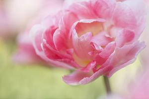 Pennsylvania. Pink Double Tulip Flower by Jaynes Gallery