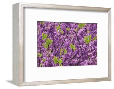 Purple Blossoms on Redbud Tree, Multnomah County, Oregon, USA