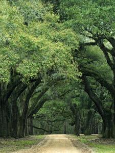 Road Enclosed by Moss-Covered Trees, Charleston, South Carolina, USA by Jaynes Gallery