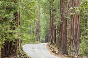 Road Through Redwoods, Big Basin Redwoods State Park, California, USA by Jaynes Gallery