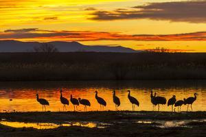 Sandhill Cranes Sunrise, Bosque Del Apache NWR, New Mexico, USA by Jaynes Gallery