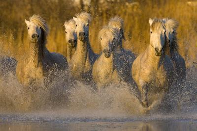 Seven White Camargue Horses Running in Water, Provence, France by Jaynes Gallery