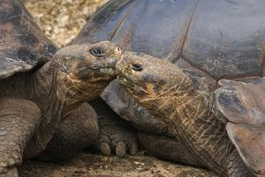 South America, Ecuador, Galapagos Islands. Two Giant Male Tortoises by Jaynes Gallery