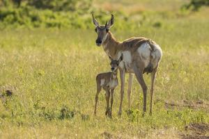 South Dakota, Custer State Park. Pronghorn Doe and Fawn by Jaynes Gallery