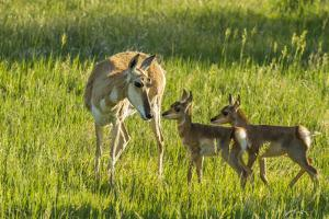South Dakota, Custer State Park. Pronghorn Doe and Fawns by Jaynes Gallery