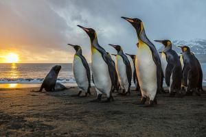 South Georgia Island, Gold Harbor. King Penguins and Fur Seal on Beach at Sunrise by Jaynes Gallery
