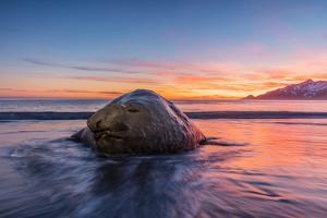 South Georgia Island, St. Andrew's Bay. Elephant Seal in Beach Surf at Sunrise by Jaynes Gallery