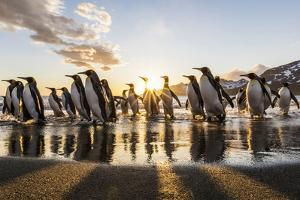 South Georgia Island, St. Andrew's Bay. King Penguins on Beach at Sunrise by Jaynes Gallery