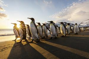 South Georgia Island, St. Andrew's Bay. King Penguins Walk on Beach at Sunrise by Jaynes Gallery
