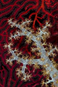 South Pacific, Solomon Islands. Sea fan and soft coral. by Jaynes Gallery