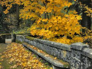 Stone Wall Framed by Big Leaf Maple, Columbia River Gorge, Oregon, USA by Jaynes Gallery
