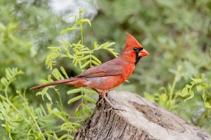 Texas, Gatesville, Santa Clara Ranch. Male Northern Cardinal on Stump by Jaynes Gallery
