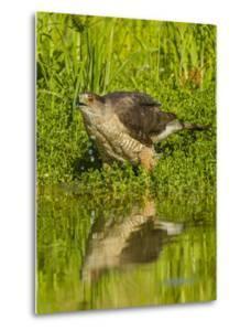 Texas, Hidalgo County. Cooper's Hawk Reflecting in Water by Jaynes Gallery