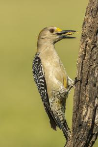 Texas, Hidalgo County. Golden-Fronted Eating by Jaynes Gallery