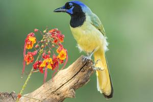 Texas, Hidalgo County. Green Jay on Log by Jaynes Gallery