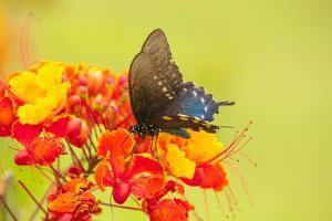Texas, Hidalgo County. Pipevine Swallowtail Butterfly on Flower by Jaynes Gallery