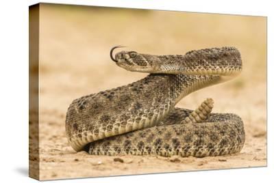 Texas, Hidalgo County. Western Diamondback Rattlesnake Coiled to Strike