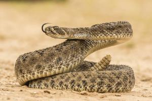 Texas, Hidalgo County. Western Diamondback Rattlesnake Coiled to Strike by Jaynes Gallery
