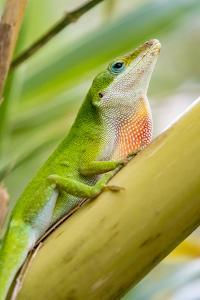 Texas, Sabal Palm Sanctuary. Male Green Anole on Plant by Jaynes Gallery