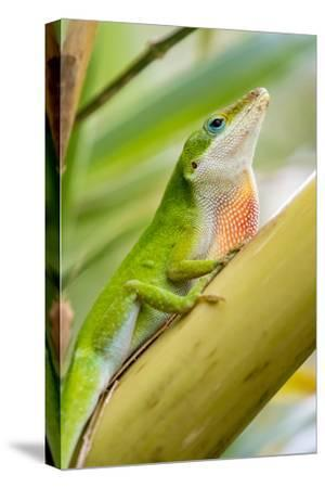 Texas, Sabal Palm Sanctuary. Male Green Anole on Plant