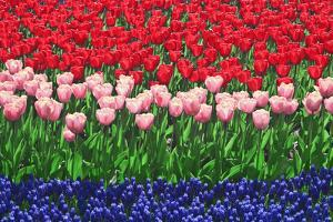 The Netherlands, Lisse. Close-up of flowers. by Jaynes Gallery