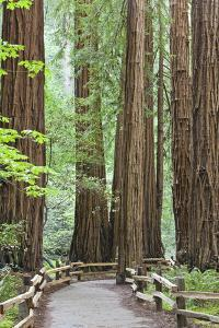 Trail Through Muir Woods National Monument, California, USA by Jaynes Gallery
