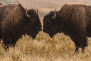 Two Bison Face-To-Face, Custer State Park, South Dakota, USA by Jaynes Gallery