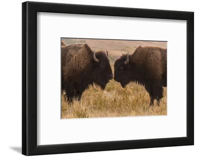 Two Bison Face-To-Face, Custer State Park, South Dakota, USA