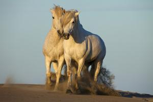 Two White Camargue Horses Trotting in Sand, Provence, France by Jaynes Gallery